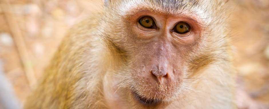phuket-monkey.jpg