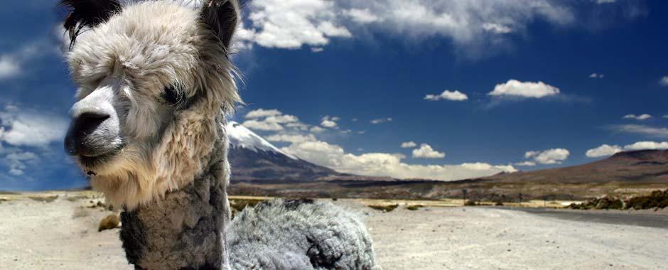 south-america-alpaca.jpg